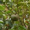 Té de hojas de Guanábana ¡Anticancerígeno!